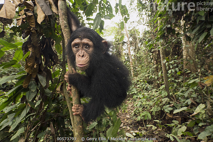 Chimpanzee (Pan troglodytes) orphan Larry in forest nursery, Mefou Primate Sanctuary, Ape Action Africa, Cameroon  ,  Animal in Habitat, Arboreal, Baby, Cameroon, Captive, Chimpanzee, Color Image, Day, Endangered Species, Full Length, Horizontal, Looking at Camera, Mefou Primate Sanctuary, Nobody, One Animal, Orphan, Outdoors, Pan troglodytes, Photography, Rainforest, Side View, Wildlife, Young,Animal in Habitat, Arboreal, Baby, Cameroon, Captive, Chimpanzee, Color Image, Day, Endangered Species, Full Length, Horizontal, Looking at Camera, Mefou Primate Sanctuary, Nobody, One Animal, Orphan, Outdoors, Pan troglodytes, Photography, Rainforest, Side View, Wildlife, Young  ,  Gerry Ellis