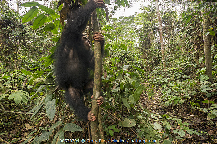 Chimpanzee (Pan troglodytes) orphan climbing, Mefou Primate Sanctuary, Ape Action Africa, Cameroon  ,  Arboreal, Baby, Cameroon, Captive, Chimpanzee, Climbing, Color Image, Day, Endangered Species, Horizontal, Mefou Primate Sanctuary, Nobody, One Animal, Orphan, Outdoors, Pan troglodytes, Photography, Side View, Three Quarter Length, Wildlife, Young  ,  Gerry Ellis