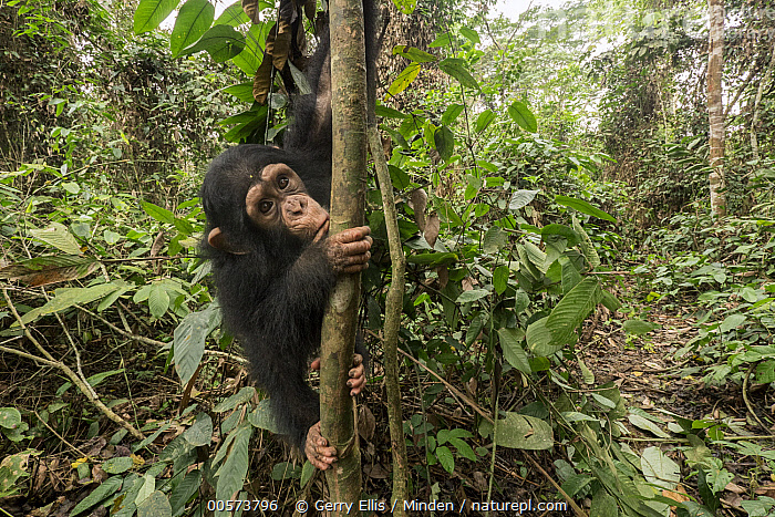 Chimpanzee (Pan troglodytes) orphan climbing, Mefou Primate Sanctuary, Ape Action Africa, Cameroon  ,  Animal in Habitat, Arboreal, Baby, Cameroon, Captive, Chimpanzee, Color Image, Day, Endangered Species, Horizontal, Looking at Camera, Mefou Primate Sanctuary, Nobody, One Animal, Orphan, Outdoors, Pan troglodytes, Photography, Rainforest, Side View, Three Quarter Length, Wildlife, Young,Animal in Habitat, Arboreal, Baby, Cameroon, Captive, Chimpanzee, Color Image, Day, Endangered Species, Horizontal, Looking at Camera, Mefou Primate Sanctuary, Nobody, One Animal, Orphan, Outdoors, Pan troglodytes, Photography, Rainforest, Side View, Three Quarter Length, Wildlife, Young  ,  Gerry Ellis