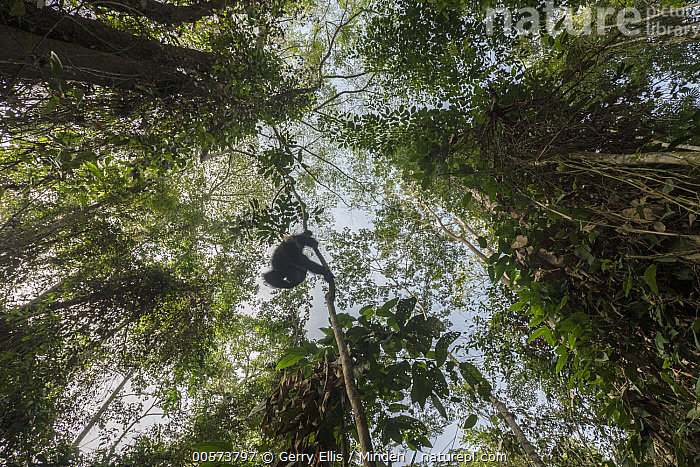 Chimpanzee (Pan troglodytes) orphan Larry climbing in forest, Mefou Primate Sanctuary, Ape Action Africa, Cameroon  ,  Animal in Habitat, Arboreal, Baby, Cameroon, Captive, Chimpanzee, Climbing, Color Image, Day, Endangered Species, Full Length, Horizontal, Low Angle View, Mefou Primate Sanctuary, Nobody, One Animal, Orphan, Outdoors, Pan troglodytes, Photography, Rainforest, Rear View, Wildlife, Young  ,  Gerry Ellis