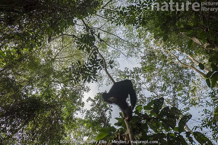 Chimpanzee (Pan troglodytes) orphan Larry climbing in forest, Mefou Primate Sanctuary, Ape Action Africa, Cameroon  ,  Animal in Habitat, Arboreal, Baby, Cameroon, Captive, Chimpanzee, Climbing, Color Image, Day, Endangered Species, Full Length, Horizontal, Mefou Primate Sanctuary, Nobody, One Animal, Orphan, Outdoors, Pan troglodytes, Photography, Rainforest, Rear View, Wildlife, Young  ,  Gerry Ellis