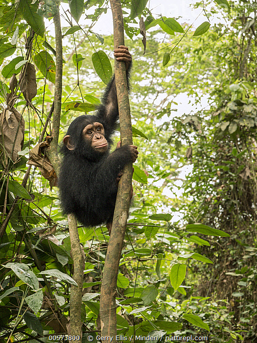 Chimpanzee (Pan troglodytes) orphan in tree, Ape Action Africa, Mefou Primate Sanctuary, Cameroon  ,  Animal in Habitat, Arboreal, Baby, Cameroon, Captive, Chimpanzee, Climbing, Color Image, Day, Endangered Species, Full Length, Mefou Primate Sanctuary, Nobody, One Animal, Orphan, Outdoors, Pan troglodytes, Photography, Rainforest, Side View, Vertical, Wildlife, Young,Animal in Habitat, Arboreal, Baby, Cameroon, Captive, Chimpanzee, Climbing, Color Image, Day, Endangered Species, Full Length, Mefou Primate Sanctuary, Nobody, One Animal, Orphan, Outdoors, Pan troglodytes, Photography, Rainforest, Side View, Vertical, Wildlife, Young  ,  Gerry Ellis
