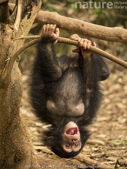 Chimpanzee (Pan troglodytes) orphan playing in tree, Mefou Primate Sanctuary, Cameroon  ,  Arboreal, Baby, Cameroon, Captive, Chimpanzee, Color Image, Day, Endangered Species, Front View, Full Length, Hanging, Mefou Primate Sanctuary, Nobody, One Animal, Orphan, Outdoors, Pan troglodytes, Photography, Playing, Sequence, Upside Down, Vertical, Wildlife, Young  ,  Gerry Ellis