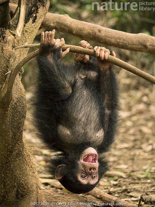 Chimpanzee (Pan troglodytes) orphan Larry playing in tree, Ape Action Africa, Mefou Primate Sanctuary, Cameroon  ,  Arboreal, Baby, Cameroon, Captive, Chimpanzee, Color Image, Day, Endangered Species, Front View, Full Length, Hanging, Mefou Primate Sanctuary, Nobody, One Animal, Orphan, Outdoors, Pan troglodytes, Photography, Playing, Sequence, Upside Down, Vertical, Wildlife, Young  ,  Gerry Ellis