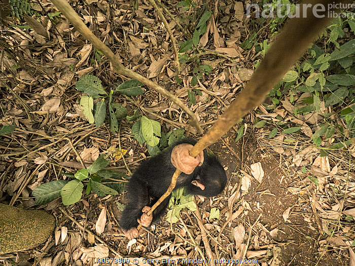 Chimpanzee (Pan troglodytes) orphan Larry play-climbing by swinging on vine, Mefou Primate Sanctuary, Ape Action Africa, Cameroon  ,  Arboreal, Baby, Cameroon, Captive, Chimpanzee, Climbing, Color Image, Day, Endangered Species, Full Length, High Angle View, Horizontal, Mefou Primate Sanctuary, Nobody, One Animal, Orphan, Outdoors, Pan troglodytes, Photography, Side View, Wildlife, Young  ,  Gerry Ellis