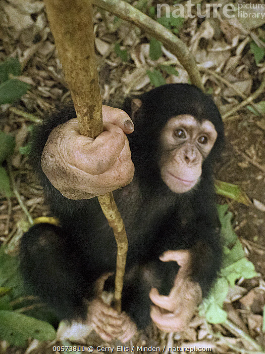 Chimpanzee (Pan troglodytes) orphan Larry play-climbing by swinging on vine, Mefou Primate Sanctuary, Ape Action Africa, Cameroon  ,  Arboreal, Baby, Cameroon, Captive, Chimpanzee, Climbing, Color Image, Day, Endangered Species, Front View, Full Length, High Angle View, Mefou Primate Sanctuary, Nobody, One Animal, Orphan, Outdoors, Pan troglodytes, Photography, Vertical, Wildlife, Young  ,  Gerry Ellis