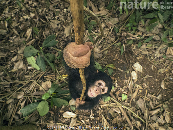Chimpanzee (Pan troglodytes) orphan Larry play-climbing by swinging on vine, Mefou Primate Sanctuary, Ape Action Africa, Cameroon  ,  Arboreal, Baby, Cameroon, Captive, Chimpanzee, Climbing, Color Image, Day, Endangered Species, Full Length, High Angle View, Horizontal, Learning, Looking at Camera, Mefou Primate Sanctuary, Nobody, One Animal, Orphan, Outdoors, Pan troglodytes, Photography, Playing, Side View, Wildlife, Young  ,  Gerry Ellis