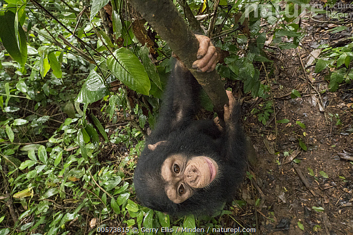 Chimpanzee (Pan troglodytes) orphan Larry climbing in forest nursery, Mefou Primate Sanctuary, Ape Action Africa, Cameroon  ,  Arboreal, Baby, Cameroon, Captive, Chimpanzee, Climbing, Color Image, Day, Endangered Species, Full Length, High Angle View, Horizontal, Looking at Camera, Mefou Primate Sanctuary, Nobody, One Animal, Orphan, Outdoors, Pan troglodytes, Photography, Side View, Wildlife, Young  ,  Gerry Ellis
