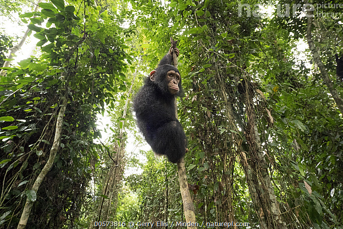 Chimpanzee (Pan troglodytes) orphan Larry climbing in forest nursery, Mefou Primate Sanctuary, Ape Action Africa, Cameroon  ,  Animal in Habitat, Arboreal, Baby, Cameroon, Captive, Chimpanzee, Color Image, Day, Endangered Species, Full Length, Horizontal, Low Angle View, Mefou Primate Sanctuary, Nobody, One Animal, Orphan, Outdoors, Pan troglodytes, Photography, Rainforest, Side View, Wildlife, Young  ,  Gerry Ellis