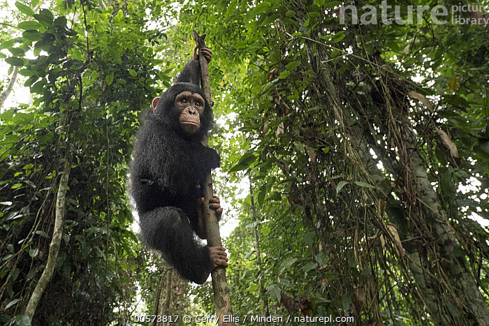 Chimpanzee (Pan troglodytes) orphan Larry climbing in forest nursery, Mefou Primate Sanctuary, Ape Action Africa, Cameroon  ,  Animal in Habitat, Arboreal, Baby, Cameroon, Captive, Chimpanzee, Color Image, Day, Endangered Species, Full Length, Horizontal, Looking at Camera, Low Angle View, Mefou Primate Sanctuary, Nobody, One Animal, Orphan, Outdoors, Pan troglodytes, Photography, Rainforest, Side View, Wildlife, Young  ,  Gerry Ellis