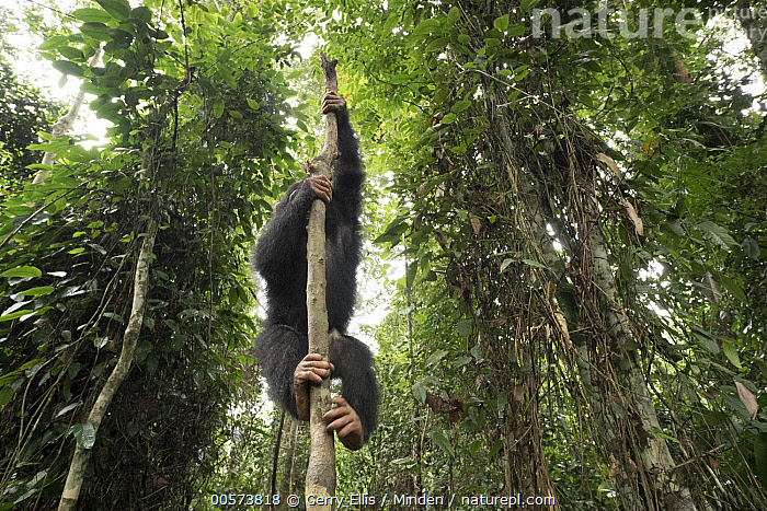Chimpanzee (Pan troglodytes) orphan Larry climbing in forest nursery, Mefou Primate Sanctuary, Ape Action Africa, Cameroon  ,  Animal in Habitat, Arboreal, Baby, Cameroon, Captive, Chimpanzee, Climbing, Color Image, Day, Endangered Species, Front View, Full Length, Horizontal, Mefou Primate Sanctuary, Nobody, One Animal, Orphan, Outdoors, Pan troglodytes, Photography, Rainforest, Wildlife, Young  ,  Gerry Ellis