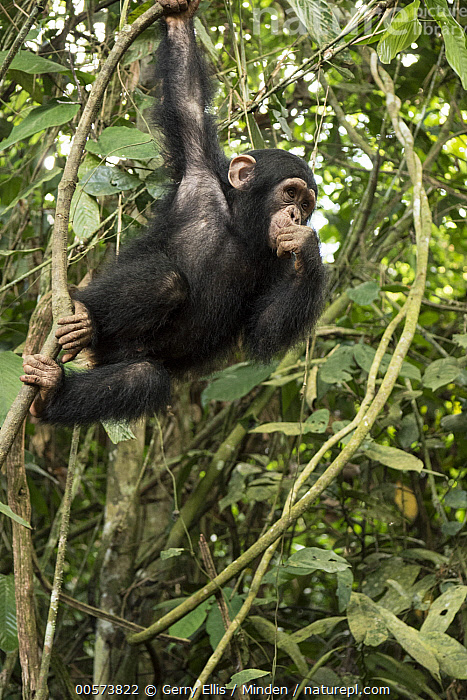 Chimpanzee (Pan troglodytes) orphan Larry climbing in forest nursery, Mefou Primate Sanctuary, Ape Action Africa, Cameroon  ,  Arboreal, Baby, Cameroon, Captive, Chimpanzee, Color Image, Day, Endangered Species, Mefou Primate Sanctuary, Nobody, One Animal, Orphan, Outdoors, Pan troglodytes, Photography, Side View, Three Quarter Length, Vertical, Wildlife, Young  ,  Gerry Ellis