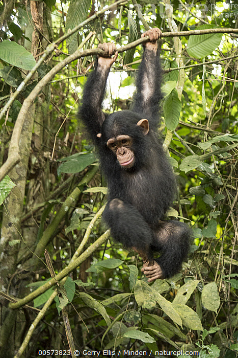 Chimpanzee (Pan troglodytes) orphan Larry climbing in forest nursery, Mefou Primate Sanctuary, Ape Action Africa, Cameroon  ,  Arboreal, Baby, Cameroon, Captive, Chimpanzee, Color Image, Day, Endangered Species, Front View, Full Length, Hanging, Mefou Primate Sanctuary, Nobody, One Animal, Orphan, Outdoors, Pan troglodytes, Photography, Swinging, Vertical, Wildlife, Young  ,  Gerry Ellis