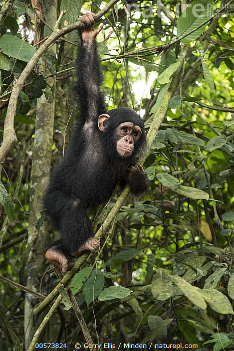 Chimpanzee (Pan troglodytes) orphan Larry climbing in forest nursery, Mefou Primate Sanctuary, Ape Action Africa, Cameroon  ,  Arboreal, Baby, Cameroon, Captive, Chimpanzee, Climbing, Color Image, Day, Endangered Species, Full Length, Hanging, Mefou Primate Sanctuary, Nobody, One Animal, Orphan, Outdoors, Pan troglodytes, Photography, Side View, Vertical, Wildlife, Young,Arboreal, Baby, Cameroon, Captive, Chimpanzee, Climbing, Color Image, Day, Endangered Species, Full Length, Hanging, Mefou Primate Sanctuary, Nobody, One Animal, Orphan, Outdoors, Pan troglodytes, Photography, Side View, Vertical, Wildlife, Young  ,  Gerry Ellis
