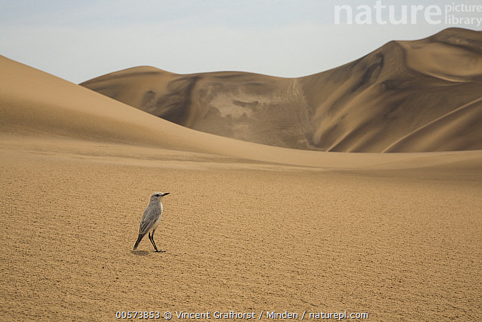 Tractrac Chat (Cercomela tractrac) in desert, Namibia  ,  Adult, Animal in Habitat, Cercomela tractrac, Color Image, Day, Desert, Full Length, Horizontal, Namibia, Nobody, One Animal, Outdoors, Photography, Sand Dune, Side View, Tractrac Chat, Wildlife,Tractrac Chat,Namibia  ,  Vincent Grafhorst