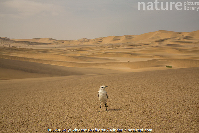 Tractrac Chat (Cercomela tractrac) in desert, Namibia  ,  Adult, Animal in Habitat, Cercomela tractrac, Color Image, Day, Desert, Front View, Full Length, Horizontal, Namibia, Nobody, One Animal, Outdoors, Photography, Sand Dune, Tractrac Chat, Wildlife,Tractrac Chat,Namibia  ,  Vincent Grafhorst