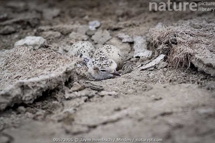 Snowy Plover (Charadrius nivosus) chick and eggs in nest, Milpitas, Bay Area, California  ,  Baby, Bay Area, California, Charadrius nivosus, Chick, Color Image, Day, Egg, Full Length, Horizontal, Milpitas, Nest, Nobody, One Animal, Outdoors, Photography, Shorebird, Side View, Snowy Plover, Two Objects, Wildlife,Snowy Plover,California, USA  ,  Jaymi Heimbuch
