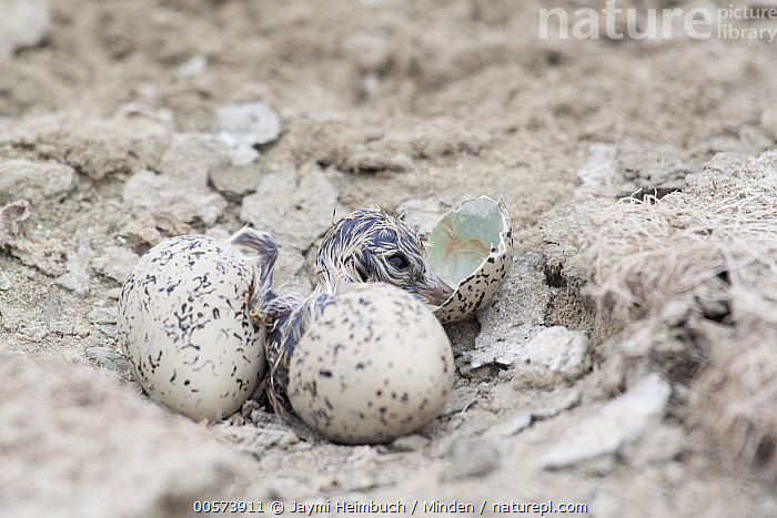 Snowy Plover (Charadrius nivosus) chick hatching from egg, Milpitas, Bay Area, California  ,  Adult, Baby, Bay Area, California, Camouflage, Charadrius nivosus, Chick, Color Image, Day, Egg, Full Length, Hatching, Horizontal, Milpitas, Nest, Nobody, One Animal, Outdoors, Photography, Rear View, Shorebird, Snowy Plover, Two Objects, Wildlife,Snowy Plover,California, USA  ,  Jaymi Heimbuch