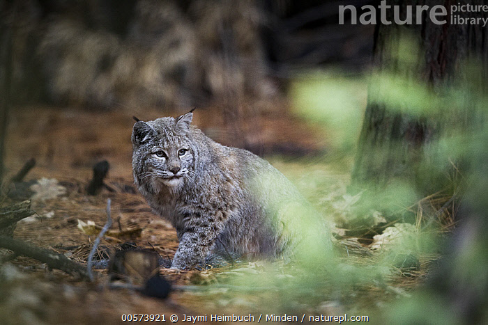 Bobcat (Lynx rufus) in forest, Yosemite National Park, California  ,  Adult, Bobcat, California, Color Image, Day, Forest, Full Length, Horizontal, Lynx rufus, Nobody, One Animal, Outdoors, Photography, Side View, Wildlife, Yosemite National Park,Bobcat,California, USA  ,  Jaymi Heimbuch