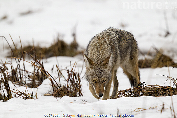 Coyote (Canis latrans) smelling the ground in snow, Yosemite National Park, California  ,  Adult, California, Canis latrans, Color Image, Coyote, Day, Front View, Full Length, Horizontal, Nobody, One Animal, Outdoors, Photography, Smelling, Snow, Wildlife, Winter, Yosemite National Park,Coyote,California, USA  ,  Jaymi Heimbuch