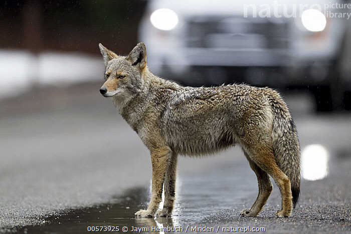 Coyote (Canis latrans) crossing street in front of oncoming car, Yosemite National Park, California  ,  Adult, California, Canis latrans, Car, Color Image, Coyote, Crossing, Danger, Day, Encroaching, Environmental Issue, Full Length, Habitat Loss, Horizontal, Nobody, One Animal, Outdoors, Photography, Road, Side View, Urban, Wildlife, Yosemite National Park,Coyote,California, USA  ,  Jaymi Heimbuch