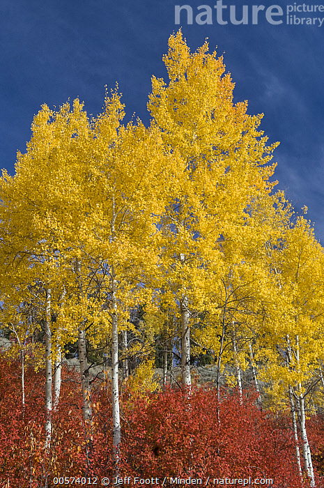 Quaking Aspen (Populus tremuloides) trees in fall, Grand Teton National Park, Wyoming  ,  Autumn, Blue Sky, Color Image, Day, Fall Colors, Grand Teton National Park, Landscape, Nobody, Outdoors, Photography, Populus tremuloides, Quaking Aspen, Red, Tree, Vertical, Wyoming, Yellow,Quaking Aspen,Wyoming, USA  ,  Jeff Foott