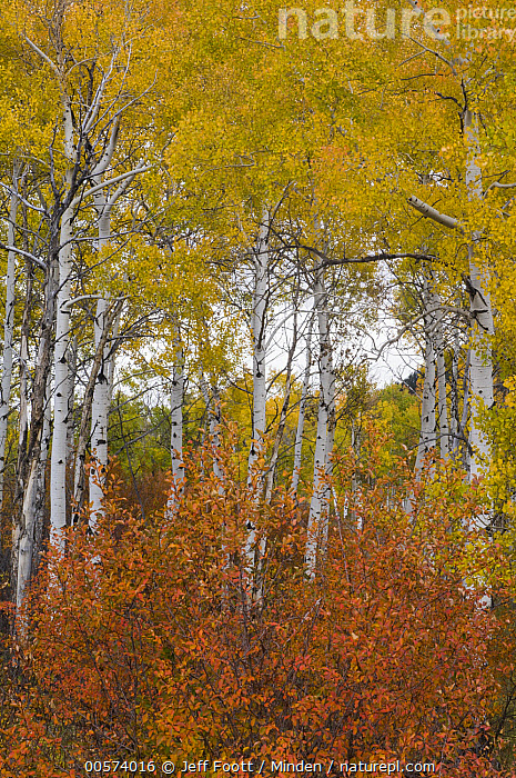 Quaking Aspen (Populus tremuloides) trees in fall, Grand Teton National Park, Wyoming  ,  Autumn, Color Image, Day, Fall Colors, Grand Teton National Park, Landscape, Nobody, Outdoors, Photography, Populus tremuloides, Quaking Aspen, Red, Tree, Vertical, Wyoming, Yellow,Quaking Aspen,Wyoming, USA  ,  Jeff Foott
