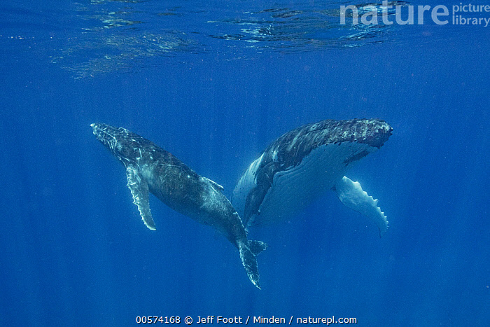 Humpback Whale (Megaptera novaeangliae) mother and calf, Tonga  ,  Adult, Baby, Calf, Color Image, Day, Female, Front View, Full Length, Horizontal, Humpback Whale, Marine Mammal, Megaptera novaeangliae, Mother, Nobody, Outdoors, Parent, Photography, Side View, Tonga, Two Animals, Underwater, Wildlife,Humpback Whale,Tonga  ,  Jeff Foott