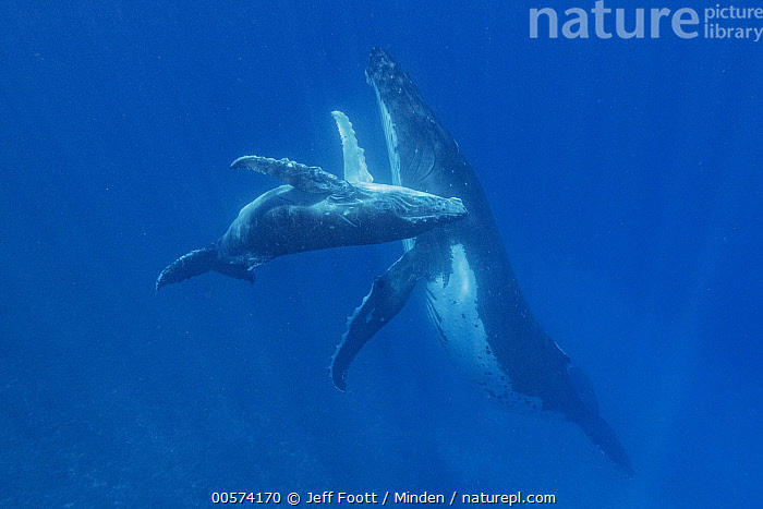 Humpback Whale (Megaptera novaeangliae) mother and calf, Tonga  ,  Adult, Baby, Calf, Color Image, Day, Female, Full Length, Horizontal, Humpback Whale, Marine Mammal, Megaptera novaeangliae, Mother, Nobody, Outdoors, Parent, Photography, Side View, Tonga, Two Animals, Underwater, Wildlife,Humpback Whale,Tonga  ,  Jeff Foott