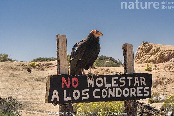California Condor (Gymnogyps californianus) on warning sign, Baja California, Mexico  ,  Adult, Baja California, California Condor, Color Image, Conservation, Critically Endangered Species, Day, Endangered Species, Full Length, Gymnogyps californianus, Horizontal, Mexico, Nobody, One Animal, Outdoors, Photography, Radio Transmitter, Raptor, Side View, Tagged, Warning Sign, Wildlife,California Condor,Mexico  ,  Jeff Foott