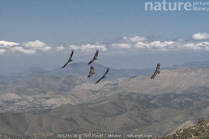 California Condor (Gymnogyps californianus) group flying over hills, Baja California, Mexico  ,  Adult, Animal in Habitat, Baja California, California Condor, Color Image, Critically Endangered Species, Day, Endangered Species, Five Animals, Flying, Full Length, Gymnogyps californianus, Hill, Horizontal, Mexico, Nobody, Outdoors, Photography, Radio Transmitter, Raptor, Side View, Tagged, Wildlife,California Condor,Mexico  ,  Jeff Foott