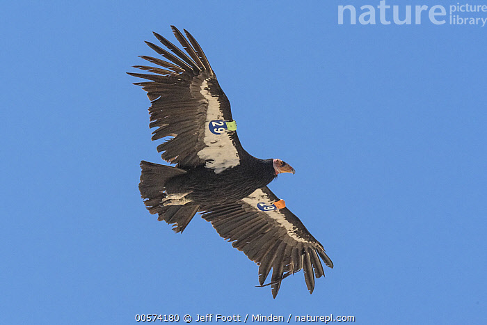California Condor (Gymnogyps californianus) flying, showing damaged primary feathers, Baja California, Mexico  ,  Adult, Baja California, California Condor, Color Image, Critically Endangered Species, Day, Endangered Species, Flying, Full Length, Gymnogyps californianus, Horizontal, Injured, Low Angle View, Mexico, Nobody, One Animal, Outdoors, Photography, Radio Transmitter, Raptor, Side View, Tagged, Wildlife, Wound,California Condor,Mexico  ,  Jeff Foott
