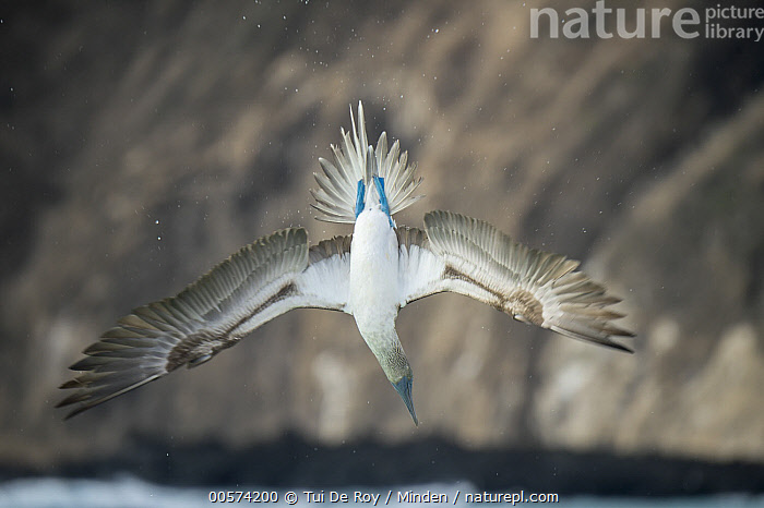 Blue-footed Booby (Sula nebouxii) plunge diving, Cerro Brujo, San Cristobal Island, Galapagos Islands, Ecuador  ,  Adult, Blue-footed Booby, Cerro Brujo, Color Image, Dancing, Day, Ecuador, Flying, Foraging, Full Length, Galapagos Islands, Horizontal, Hunting, Nobody, One Animal, Outdoors, Photography, Plunge Diving, San Cristobal Island, Seabird, Sula nebouxii, Underside, Wildlife,Blue-footed Booby,Ecuador  ,  Tui De Roy