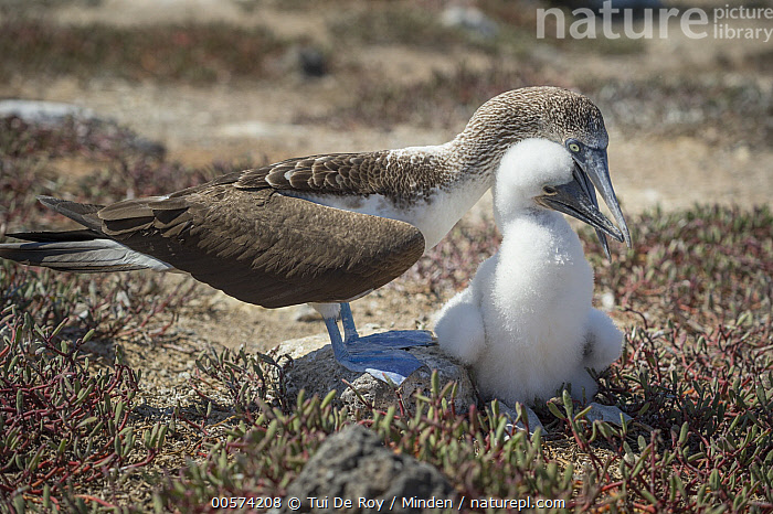 Blue-footed Booby (Sula nebouxii) parent tending to chick, Santa Cruz Island, Galapagos Islands, Ecuador  ,  Adult, Baby, Blue-footed Booby, Bonding, Chick, Color Image, Day, Ecuador, Front View, Full Length, Galapagos Islands, Horizontal, Nobody, Outdoors, Parent, Parenting, Photography, Santa Cruz Island, Seabird, Side View, Sula nebouxii, Touching, Two Animals, Wildlife,Blue-footed Booby,Ecuador  ,  Tui De Roy