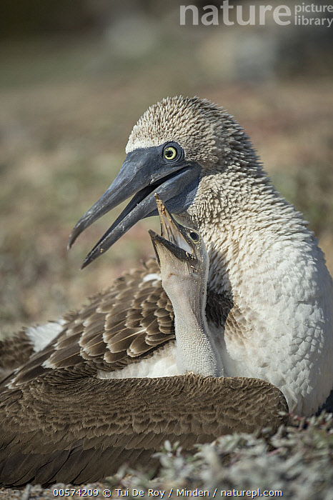 Blue-footed Booby (Sula nebouxii) parent and begging chick, Santa Cruz Island, Galapagos Islands, Ecuador  ,  Adult, Baby, Begging, Blue-footed Booby, Chick, Color Image, Day, Ecuador, Galapagos Islands, Nobody, Open Mouth, Outdoors, Parent, Parenting, Photography, Santa Cruz Island, Seabird, Side View, Sula nebouxii, Two Animals, Vertical, Waist Up, Wildlife,Blue-footed Booby,Ecuador  ,  Tui De Roy