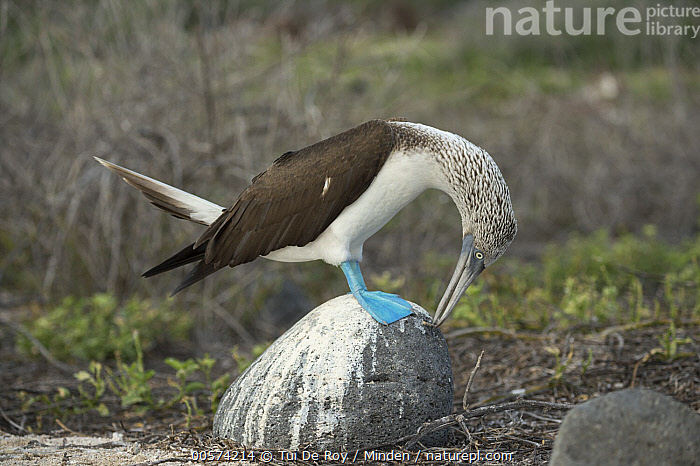 Blue-footed Booby (Sula nebouxii) in courtship display, Seymour Island, Galapagos Islands, Ecuador  ,  Adult, Blue-footed Booby, Color Image, Courting, Dancing, Day, Displaying, Ecuador, Full Length, Galapagos Islands, Horizontal, Nobody, One Animal, Outdoors, Photography, Posture, Seabird, Seymour Island, Side View, Sula nebouxii, Wildlife,Blue-footed Booby,Ecuador  ,  Tui De Roy