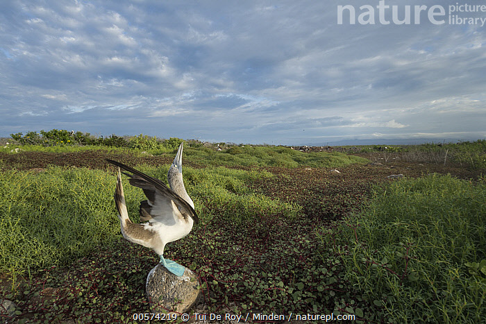 Blue-footed Booby (Sula nebouxii) in courtship display, Seymour Island, Galapagos Islands, Ecuador  ,  Adult, Blue-footed Booby, Color Image, Courting, Dancing, Day, Displaying, Ecuador, Full Length, Galapagos Islands, Horizontal, Nobody, One Animal, Outdoors, Photography, Posture, Seabird, Seymour Island, Side View, Sky Pointing, Sula nebouxii, Wide-angle Lens, Wildlife,Blue-footed Booby,Ecuador  ,  Tui De Roy