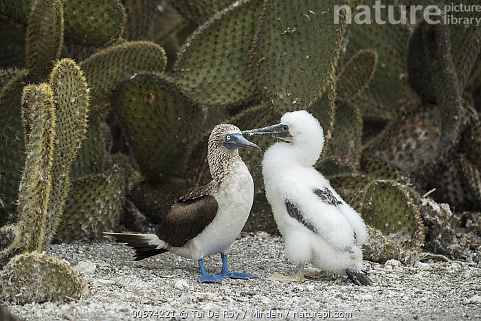 Blue-footed Booby (Sula nebouxii) parent and chick, Punta Vicente Roca, Isabela Island, Galapagos Islands, Ecuador  ,  Adult, Baby, Blue-footed Booby, Chick, Color Image, Day, Ecuador, Full Length, Galapagos Islands, Horizontal, Isabela Island, Nobody, Outdoors, Parent, Photography, Punta Vicente Roca, Seabird, Side View, Sula nebouxii, Two Animals, Wildlife,Blue-footed Booby,Ecuador  ,  Tui De Roy