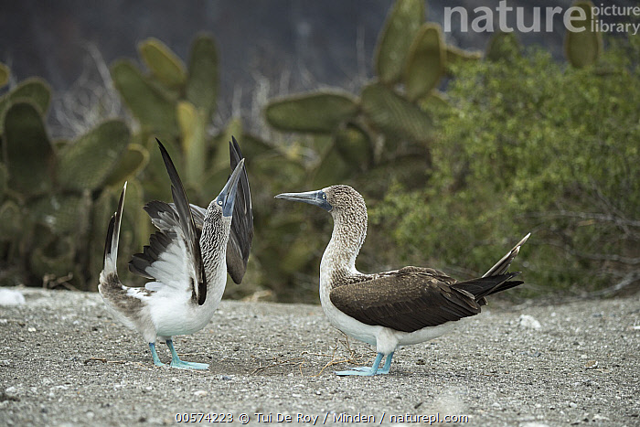 Blue-footed Booby (Sula nebouxii) pair courting, Punta Vicente Roca, Isabela Island, Galapagos Islands, Ecuador  ,  Adult, Blue-footed Booby, Color Image, Courting, Dancing, Day, Displaying, Ecuador, Female, Full Length, Galapagos Islands, Horizontal, Isabela Island, Male, Nobody, Outdoors, Photography, Punta Vicente Roca, Seabird, Side View, Sky Pointing, Sula nebouxii, Two Animals, Wildlife,Blue-footed Booby,Ecuador  ,  Tui De Roy