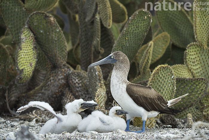 Blue-footed Booby (Sula nebouxii) parent and chicks, Punta Vicente Roca, Isabela Island, Galapagos Islands, Ecuador  ,  Adult, Baby, Blue-footed Booby, Chick, Color Image, Day, Ecuador, Full Length, Galapagos Islands, Horizontal, Isabela Island, Nobody, Outdoors, Parent, Photography, Punta Vicente Roca, Seabird, Side View, Sula nebouxii, Three Animals, Wildlife,Blue-footed Booby,Ecuador  ,  Tui De Roy