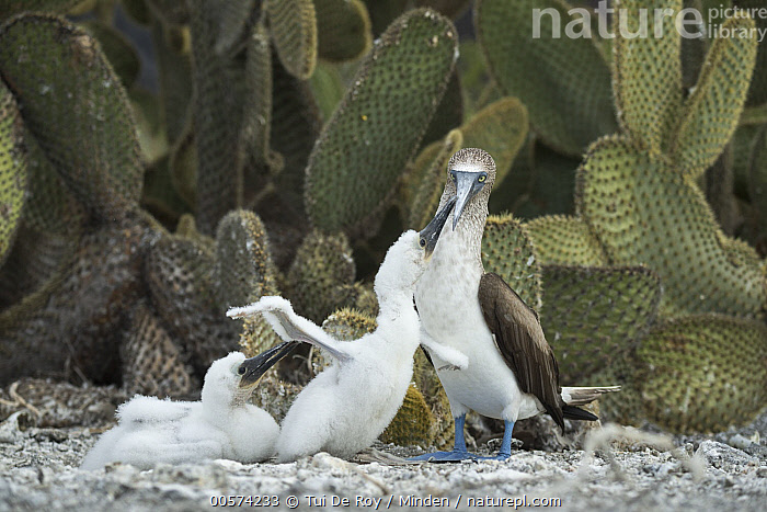 Blue-footed Booby (Sula nebouxii) parent and chicks, Punta Vicente Roca, Isabela Island, Galapagos Islands, Ecuador  ,  Adult, Baby, Begging, Blue-footed Booby, Chick, Color Image, Day, Ecuador, Full Length, Galapagos Islands, Horizontal, Isabela Island, Nobody, Outdoors, Parent, Photography, Punta Vicente Roca, Seabird, Side View, Sula nebouxii, Three Animals, Wildlife,Blue-footed Booby,Ecuador  ,  Tui De Roy