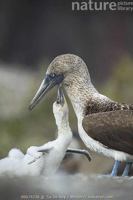 Blue-footed Booby (Sula nebouxii) chick begging for food from parent, Punta Vicente Roca, Isabela Island, Galapagos Islands, Ecuador  ,  Adult, Baby, Begging, Blue-footed Booby, Chick, Color Image, Day, Ecuador, Full Length, Galapagos Islands, Isabela Island, Nobody, Outdoors, Parent, Photography, Punta Vicente Roca, Seabird, Side View, Sula nebouxii, Three Animals, Vertical, Waist Up, Wildlife,Blue-footed Booby,Ecuador  ,  Tui De Roy