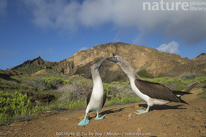 Blue-footed Booby (Sula nebouxii) pair courting, Punta Pitt, San Cristobal Island, Galapagos Islands, Ecuador  ,  Adult, Billing, Blue-footed Booby, Color Image, Courting, Day, Ecuador, Female, Front View, Full Length, Galapagos Islands, Horizontal, Male, Nobody, Outdoors, Photography, Punta Pitt, San Cristobal Island, Seabird, Side View, Sula nebouxii, Touching, Two Animals, Wide-angle Lens, Wildlife,Blue-footed Booby,Ecuador  ,  Tui De Roy