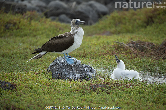 Blue-footed Booby (Sula nebouxii) parent and chick, Seymour Island, Galapagos Islands, Ecuador  ,  Adult, Baby, Blue-footed Booby, Chick, Color Image, Day, Ecuador, Full Length, Galapagos Islands, Horizontal, Nobody, Outdoors, Parent, Photography, Seabird, Seymour Island, Side View, Sula nebouxii, Two Animals, Wildlife,Blue-footed Booby,Ecuador  ,  Tui De Roy