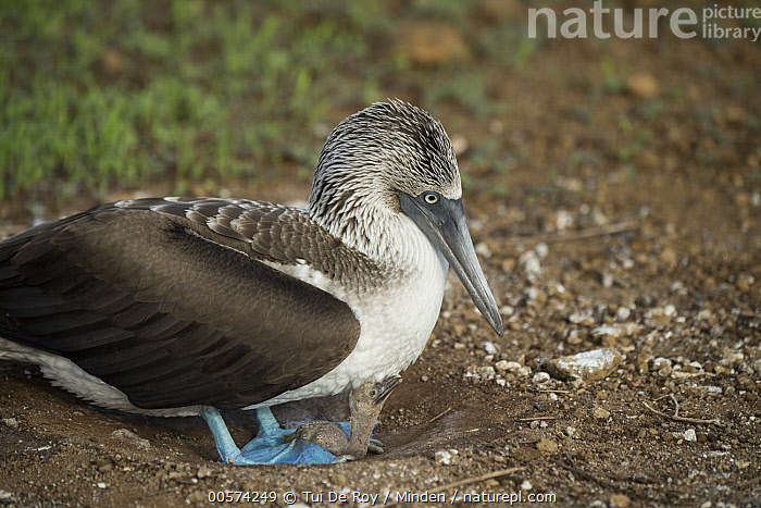 Blue-footed Booby (Sula nebouxii) parent and chick at nest, Punta Pitt, San Cristobal Island, Galapagos Islands, Ecuador  ,  Adult, Baby, Blue-footed Booby, Chick, Color Image, Day, Ecuador, Full Length, Galapagos Islands, Horizontal, Nest, Nobody, One Animal, Outdoors, Parent, Photography, Punta Pitt, San Cristobal Island, Seabird, Side View, Sula nebouxii, Wildlife,Blue-footed Booby,Ecuador  ,  Tui De Roy