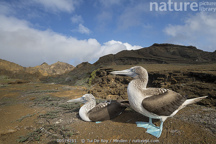 Blue-footed Booby (Sula nebouxii) pair in volcanic field, Punta Pitt, San Cristobal Island, Galapagos Islands, Ecuador  ,  Adult, Animal in Habitat, Blue-footed Booby, Color Image, Day, Ecuador, Full Length, Galapagos Islands, Horizontal, Nobody, Outdoors, Photography, Punta Pitt, San Cristobal Island, Seabird, Side View, Sula nebouxii, Two Animals, Volcanic, Wildlife,Blue-footed Booby,Ecuador,Adult, Animal in Habitat, Blue-footed Booby, Color Image, Day, Ecuador, Full Length, Galapagos Islands, Horizontal, Nobody, Outdoors, Photography, Punta Pitt, San Cristobal Island, Seabird, Side View, Sula nebouxii, Two Animals, Volcanic, Wildlife  ,  Tui De Roy