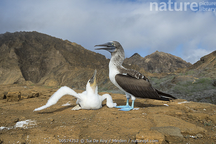 Blue-footed Booby (Sula nebouxii) parent and begging chick, Punta Pitt, San Cristobal Island, Galapagos Islands, Ecuador  ,  Adult, Baby, Begging, Blue-footed Booby, Chick, Color Image, Day, Ecuador, Full Length, Galapagos Islands, Horizontal, Nobody, Outdoors, Parent, Photography, Punta Pitt, San Cristobal Island, Seabird, Side View, Sula nebouxii, Two Animals, Wildlife,Blue-footed Booby,Ecuador  ,  Tui De Roy