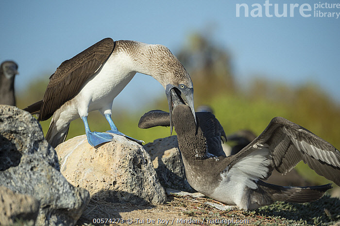 Blue-footed Booby (Sula nebouxii) parent regurgitating food for chick, Santa Cruz Island, Galapagos Islands, Ecuador  ,  Adult, Baby, Blue-footed Booby, Chick, Color Image, Day, Ecuador, Feeding, Four Animals, Full Length, Galapagos Islands, Horizontal, Nobody, Outdoors, Parent, Parenting, Photography, Regurgitating, Santa Cruz Island, Seabird, Side View, Sula nebouxii, Wildlife,Blue-footed Booby,Ecuador  ,  Tui De Roy
