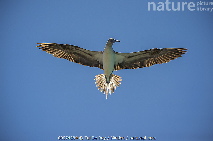 Blue-footed Booby (Sula nebouxii) flying, Itabaca Channel, Santa Cruz Island, Galapagos Islands, Ecuador  ,  Adult, Blue-footed Booby, Color Image, Day, Ecuador, Flying, Full Length, Galapagos Islands, Horizontal, Itabaca Channel, Nobody, One Animal, Outdoors, Photography, Santa Cruz Island, Seabird, Sula nebouxii, Underside, Wildlife,Blue-footed Booby,Ecuador  ,  Tui De Roy