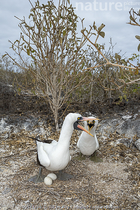 Nazca Booby (Sula granti) male and female greeting at nest with eggs, Genovesa Island, Galapagos Islands, Ecuador  ,  Adult, Color Image, Day, Ecuador, Egg, Female, Front View, Full Length, Galapagos Islands, Genovesa Island, Greeting, Male, Nazca Booby, Nest, Nobody, Outdoors, Photography, Seabird, Sula granti, Two Animals, Two Objects, Vertical, Wildlife,Nazca Booby,Ecuador  ,  Tui De Roy